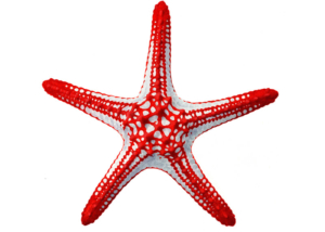 Red Knobbed Seastar