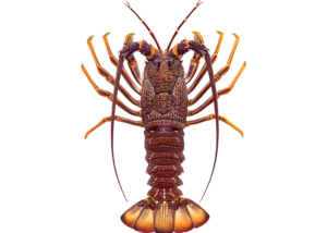 Southern Rocklobster